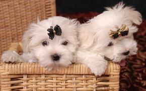 Picture basket, puppies, bow, lapdog