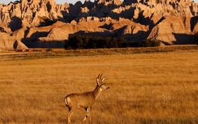 Picture grass, nature, rocks, horns, female, mule deer