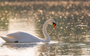 Picture Swan, pond, beautiful