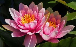 Picture macro, pink, Nymphaeum