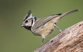 Picture bird, beak, tail, American Grenadier