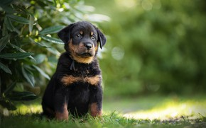 Picture dog, puppy, Beauceron, French shepherd