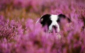 Picture face, dog, bokeh, Heather, The border collie