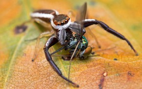 Picture macro, fly, background, the victim, spider, jumper, the Hoppy