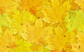 Picture leaves, maple, a lot