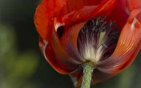 Picture flower, Mac, petals