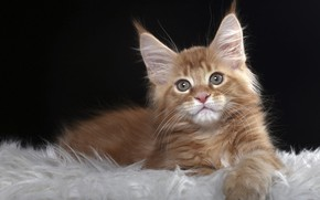 Picture cat, look, red, kitty, Maine Coon