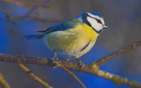 Picture macro, bird, branch, common blue tit