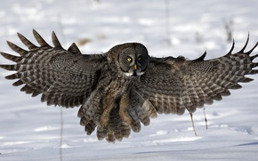 Picture snow, owl, wings