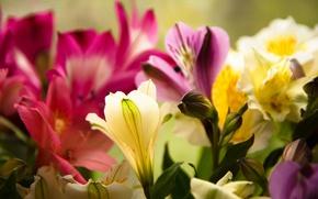 Picture macro, flowers, plants, spring, flowering, Alstroemeria