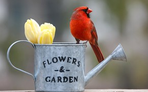Picture buds, Red cardinal, bird, lake, bokeh, tulips, background, flowers