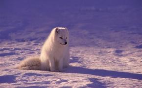 Wallpaper winter, Fox, light, snow