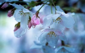 Picture drops, macro, cherry, spring