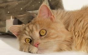 Picture cat, red cat, muzzle, look, cat