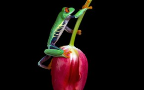 Picture flower, macro, Tulip, frog, black background, green, fauna, dendrobates