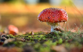 Picture forest, nature, mushroom, mushroom, dangerous
