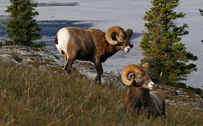 Picture nature, Canada, horns, RAM, bighorn sheep