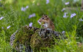Picture grass, stone, Chipmunk, bokeh, animal, rodent, grape