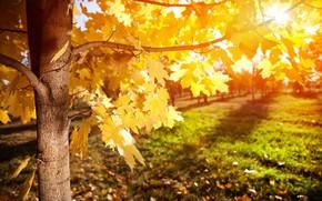 Wallpaper maple, tree, rays, autumn, leaves