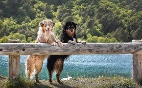 Picture Look, The fence, Dogs, Two, Animals, Australian Shepherd