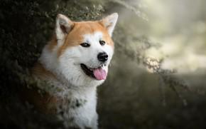 Picture language, look, face, portrait, dog, bokeh, Akita inu