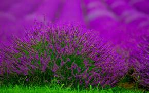 Picture Bush, lavender, bokeh