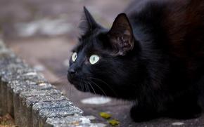 Wallpaper cat, eyes, black, mustache