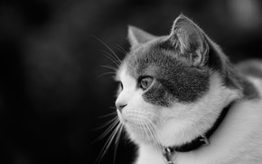 Picture cat, look, portrait, muzzle, black and white, profile, collar, monochrome, cat