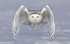 Picture owl, snowy owl, white owl, wings, flight