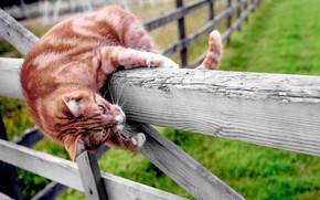 Picture cat, the fence, red