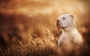Picture white, dog, dragonfly, bokeh, boxer