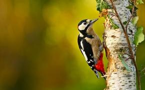 Picture tree, bird, branch, woodpecker, birch, bokeh, the orderly forest