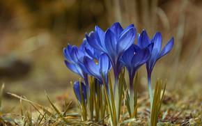 Picture Flowers, spring, flowering, Crocuses