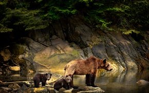 Wallpaper stones, bear, bears, branches, Michelle Valberg, water, cubs, nature, bears, animals