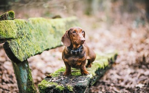 Picture look, dog, Dachshund, bench