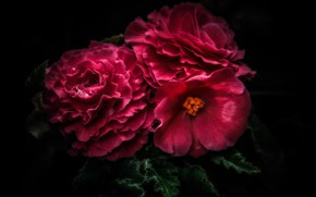 Picture macro, red, begonia