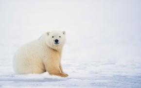 Picture winter, white, snow, nature, bear, polar bear, polar bear