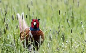 Picture grass, nature, bird, pheasant, Pheasant