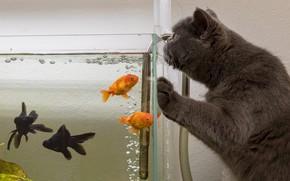 Picture cat, cat, fish, aquarium, the situation