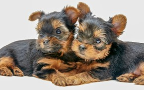 Picture puppies, a couple, Yorkshire Terrier, doggie, kids, white background