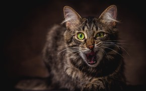 Wallpaper cat, language, green-eyed, emotions, face, the expression, mouth, grey, the dark background, cat, portrait