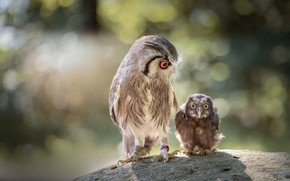 Picture look, birds, nature, background, owl, stone, two, small, large, owls, a couple, funny, bokeh, owl, ...