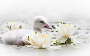 Picture water, flowers, Lily, Swan