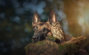 Picture animals, nature, background, owl, bird, stump, portrait, dog, friendship, friends, bokeh, Belgian shepherd