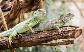 Picture tree, pair, trunk, lizards