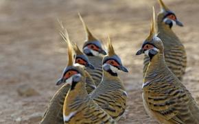 Wallpaper Geophaps plumifera, bird, Australia, feathers, Purnululu National Park