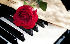 Picture flower, macro, notes, rose, keys, piano, red, closeup