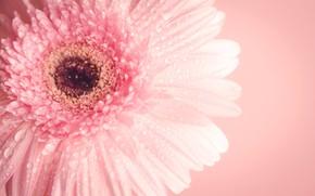 Picture flower, macro, pink, flower, pink, macro, gerbera, gerbera