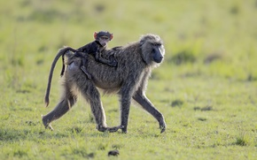 Picture monkey, Africa, walk