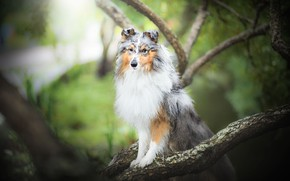 Picture branches, dog, bokeh, Sheltie, Shetland Sheepdog